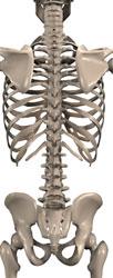 Back of Spine (Bones)